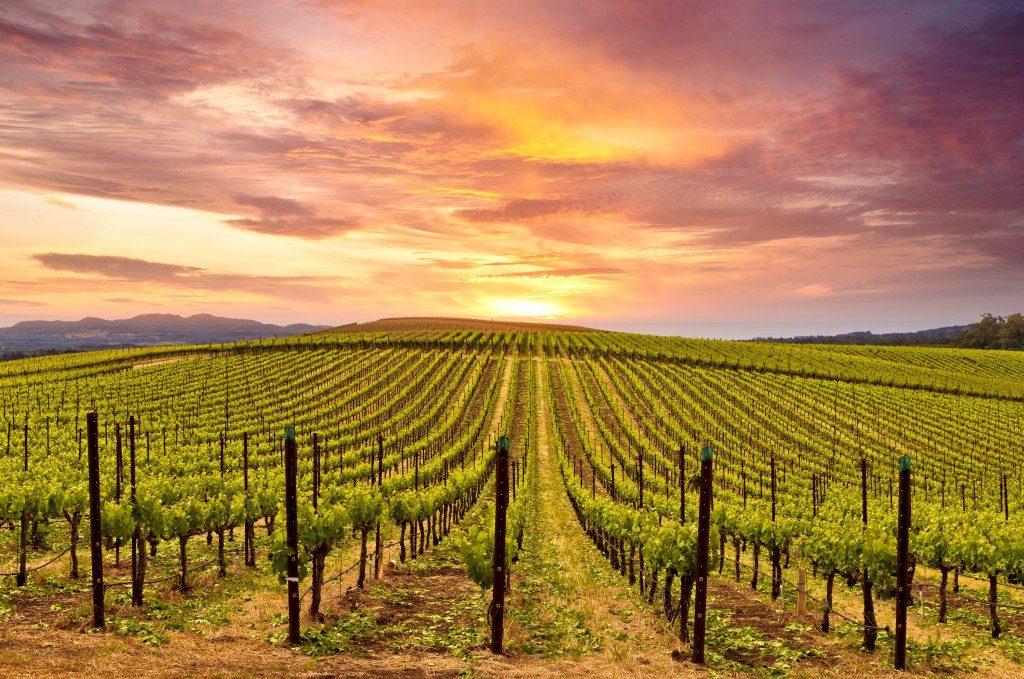 grape vineyard with sunset